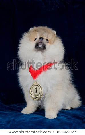 dog wearing first prize ribbon stock photo © is2