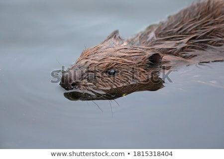 Kunduz ayakta yan gölet Stok fotoğraf © brm1949