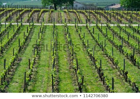 vineyard at sring near village of saint emilion stock photo © freeprod