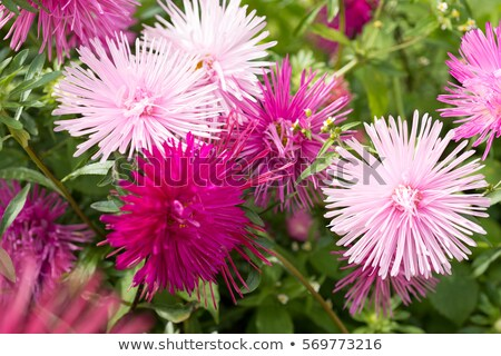 Asters on the flowerbed Stock photo © Alex9500