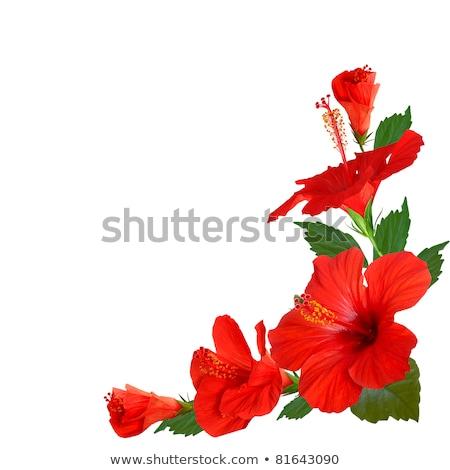 Güzel kırmızı ebegümeci yaprak çerçeve örnek Stok fotoğraf © colematt