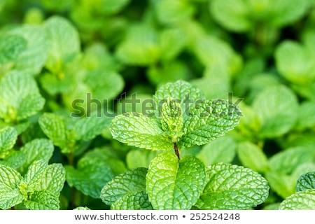 Molti menta impianti crescere natura menta verde Foto d'archivio © romvo