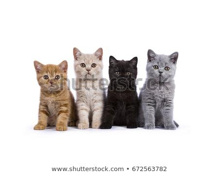 Brit rövidszőrű kiscica fekete aranyos ül Stock fotó © CatchyImages