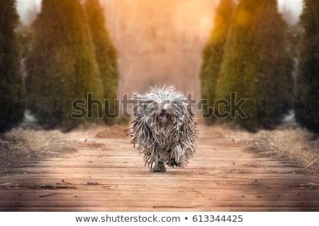 Pequeno húngaro cão europa amigo reflexão Foto stock © Fesus