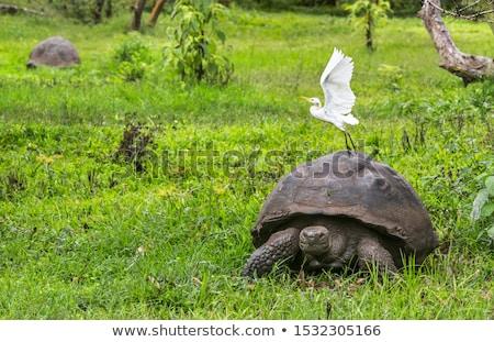 Galapagos Giant Tortoise with egret on Santa Cruz Island in Galapagos Islands Stock photo © Maridav