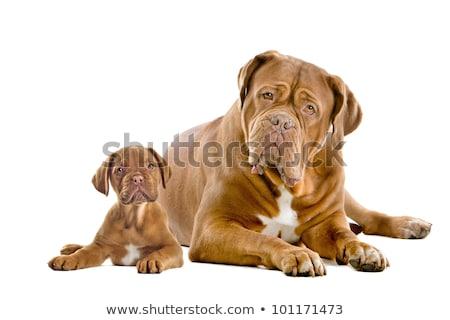 Studio shot of two adorable Dogue de Bordeaux Stock photo © vauvau