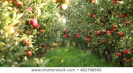 Stockfoto: Appelboomgaard · Rood · rijp · appels · appel · bomen