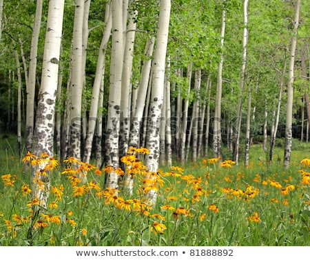 Aspen grove and orange wildflower meadow Stock photo © mtilghma