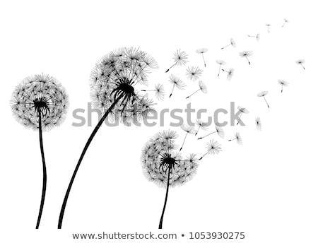 タンポポ · 花 · 飛行 · 種子 · 青 · 戻る - ストックフォト © elenaphoto