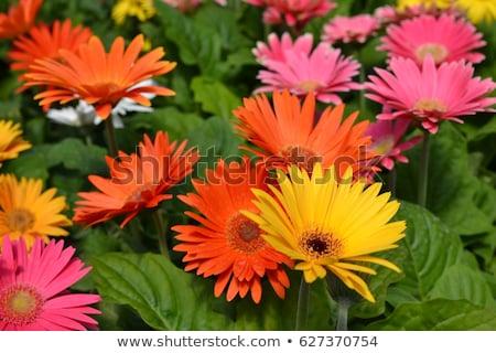 オレンジ · デイジーチェーン · 花 · 孤立した · 白 · 赤 - ストックフォト © fotogal