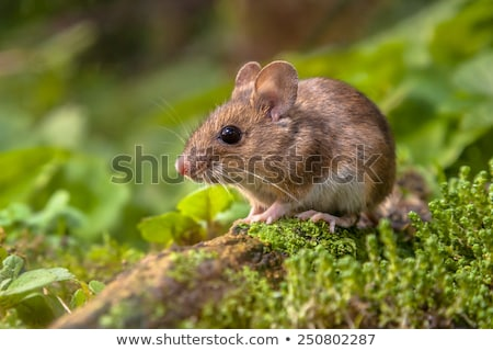 Cute Hungry Mouse Stock photo © indiwarm