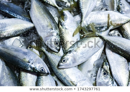 fishermans catch of fresh mackerel Stock photo © morrbyte