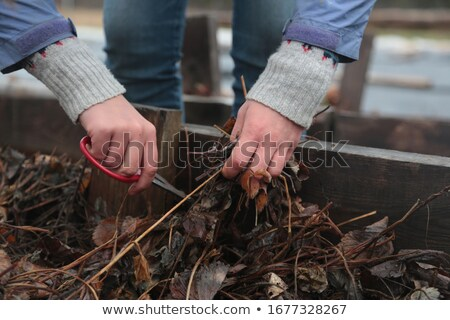Dead plant in hands of agricultural worker Stock photo © stevanovicigor