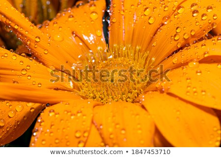 beautiful gazania flower after rain stock photo © wjarek