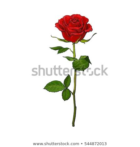 Rubin rózsa divat levél háttér művészet Stock fotó © carodi