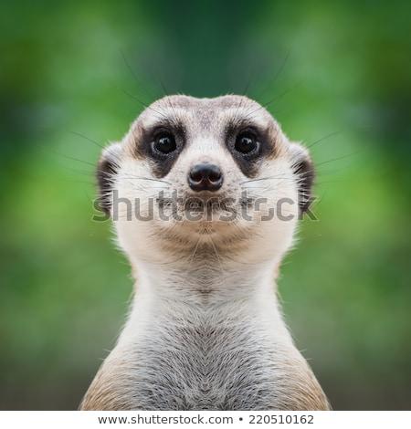 Meerkat Suricate Suricata Suricatta Face Close Up Stock photo © billperry