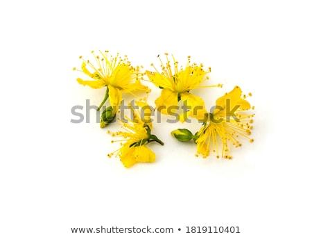 Medicinal Johnswort flowers  Stock photo © vavlt