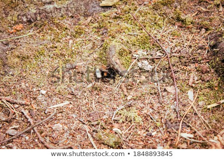 マルハナバチ 孤立した 白 黒 蜂 ストックフォト © digitalr