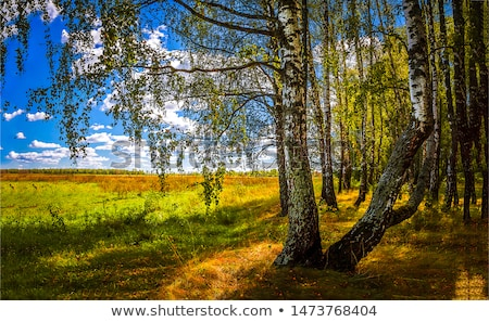 береза · лес · Солнечный · осень · утра · пейзаж - Сток-фото © ondrej83