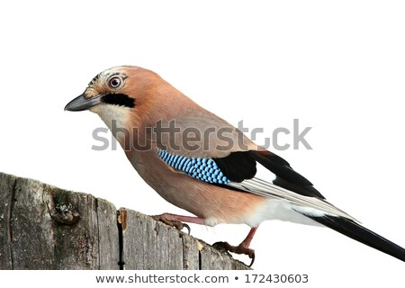 european jay isolated on white stock photo © taviphoto