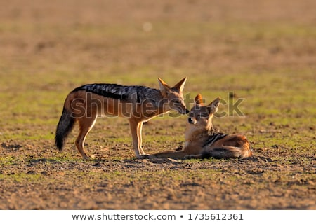 Black-backed jackal in african desert Stock photo © michaklootwijk