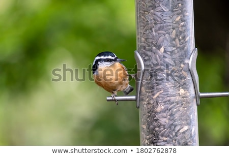 Сток-фото: Small Bird At Seed Feeder