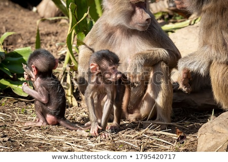 Baboon Family in a Tree Stock photo © wildnerdpix