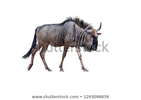 Blue Wildebeest Stock photo © dirkr