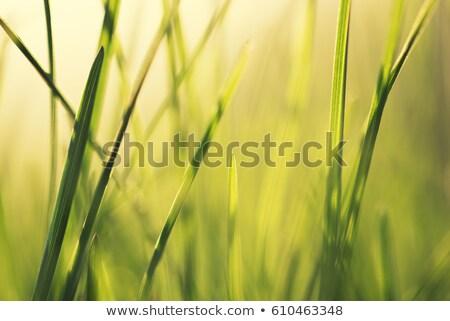 Spring Grass Macro Shot Stock photo © stevanovicigor