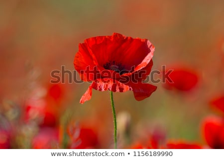 Common poppy flowers, Papaver rhoeas Stock photo © AlessandroZocc