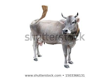 牛 見える カメラ 緑の草 草 背景 ストックフォト © compuinfoto