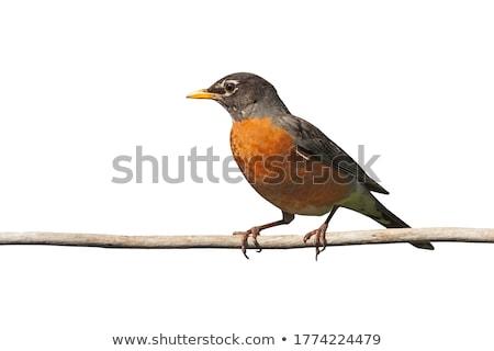 american robin   turdus migratorius stock photo © yhelfman