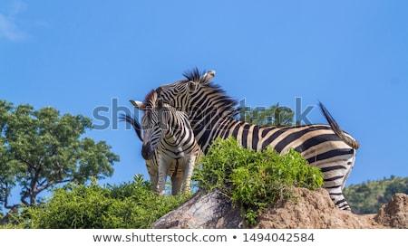 kötődés · zebrák · park · Dél-Afrika · állatok - stock fotó © simoneeman