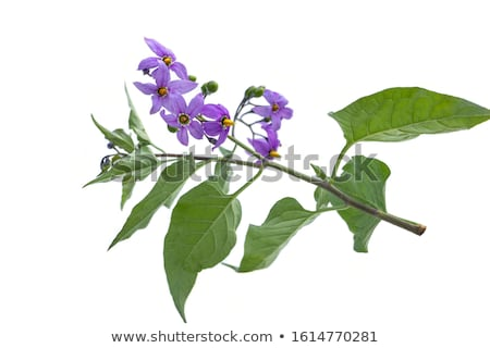 deadly nightshade plant Stock photo © LianeM