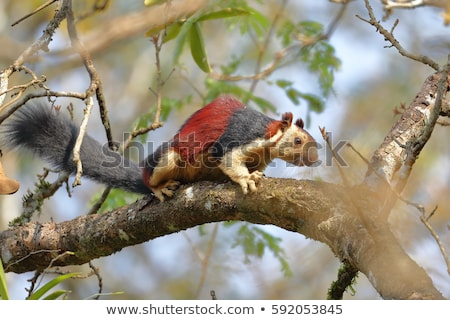 Dev sincap ağaç park Hindistan hayvan Stok fotoğraf © wildnerdpix