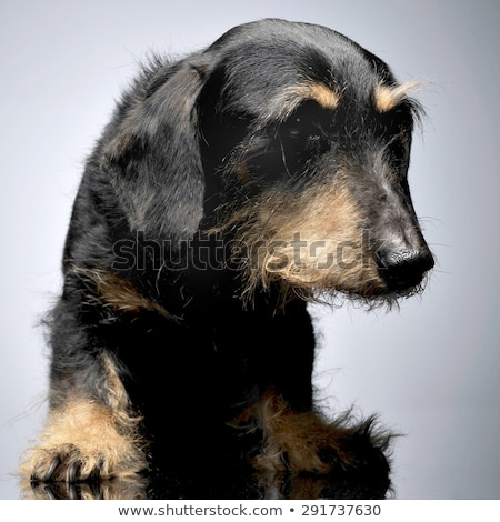 Stock photo: old sad dachshund in a gray studio