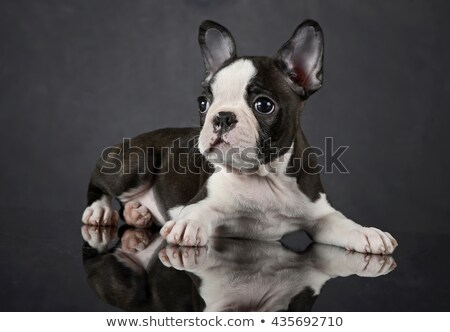 puppy boston terrier relaxing in photo studio stock photo © vauvau
