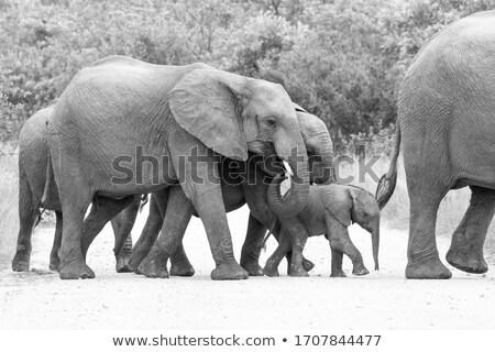 слон ног парка ЮАР животные Сток-фото © simoneeman