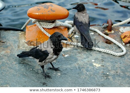 two crows on a stone  Stock photo © OleksandrO