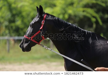 Horse training Stock photo © Novic