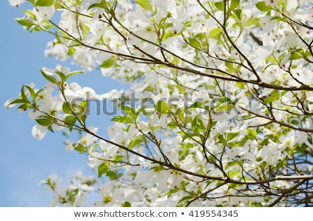 dogwood blossom background stock photo © stephaniefrey