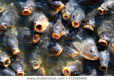 laranja · carpa · koi · azul · boca - foto stock © razvanphotography