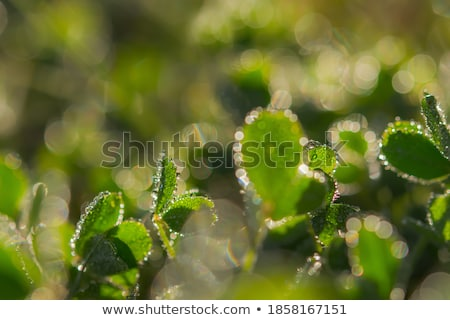 Abstract springtime grass background with shallow depth of field Stock photo © stevanovicigor