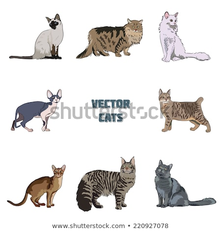 Siamese cat isolated. Thoroughbred pet. Vector illustration Stock photo © popaukropa