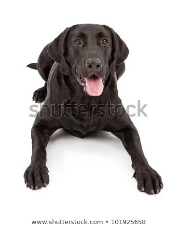Portrait of a black dog against a black backdrop in a studio Stock photo © lightpoet