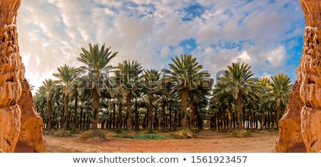 date palm farm stock photo © lienkie