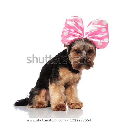 side view of funny yorkshire terrier wearing pink ribbon headban stock photo © feedough