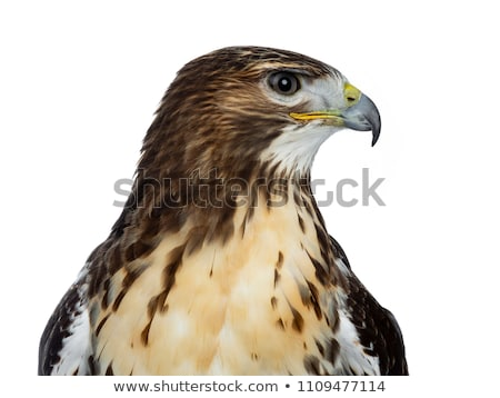 Head shot of Buzzerd isolated on white background   Stock photo © CatchyImages