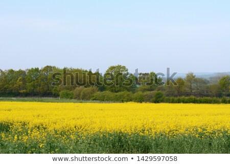 Brillante amarillo Inglaterra roble árboles alimentos Foto stock © sarahdoow
