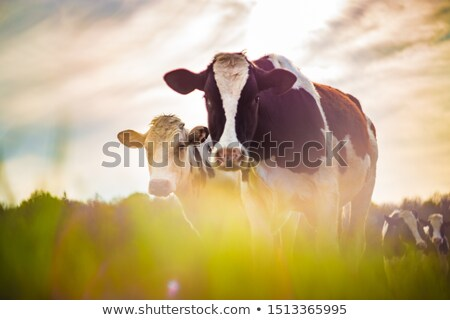 Cows taken against the light, vintage style Stock photo © tilo